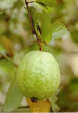 how to eat a guava by esmeralda santiago Named one of the best memoirs of a generation by oprah's book clubesmeralda santiago's story begins in rural she learned the proper way to eat a guava.